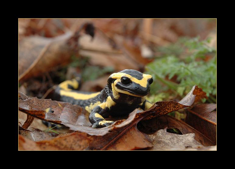 salamandre-photo-nicolas-dupieux