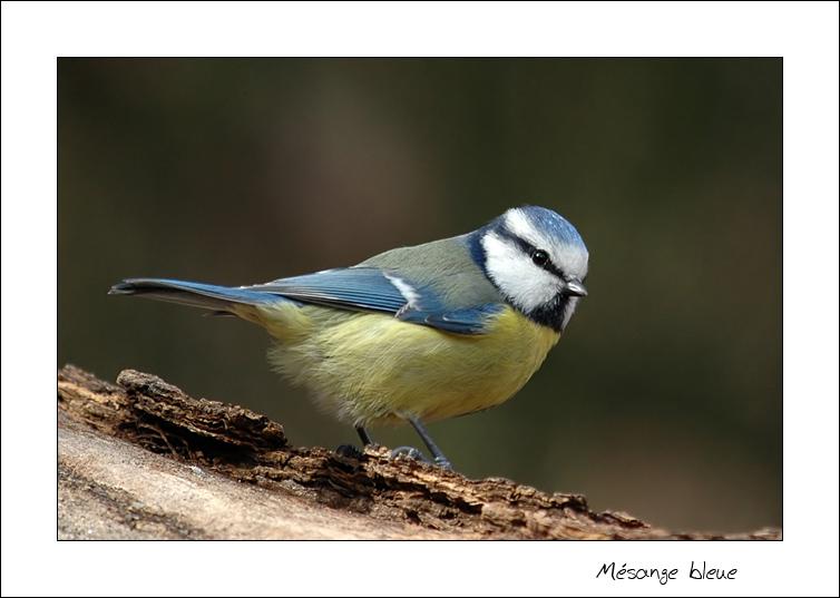 mesange-bleue-photo-nicolas-dupieux