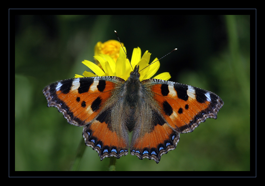 papillon2-photo-nicolas-dupieux