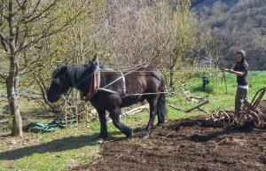 préparation des jardins avec le cheval de trait